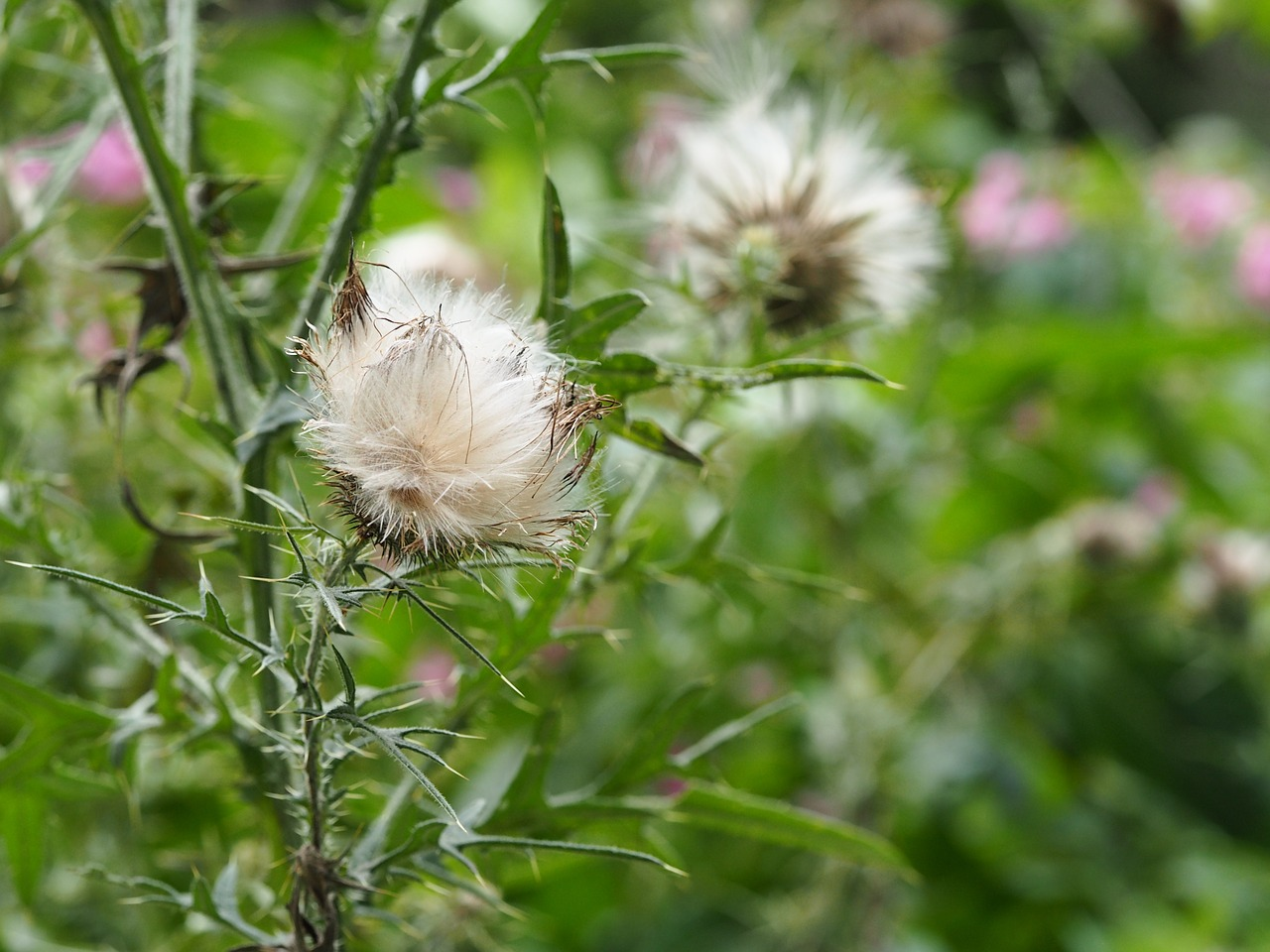 thistle burdock climbing thistle free photo