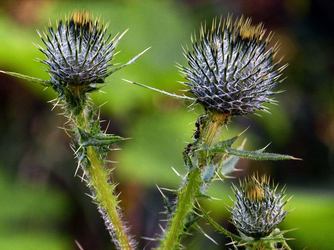 thistle wildflower wild plant free photo