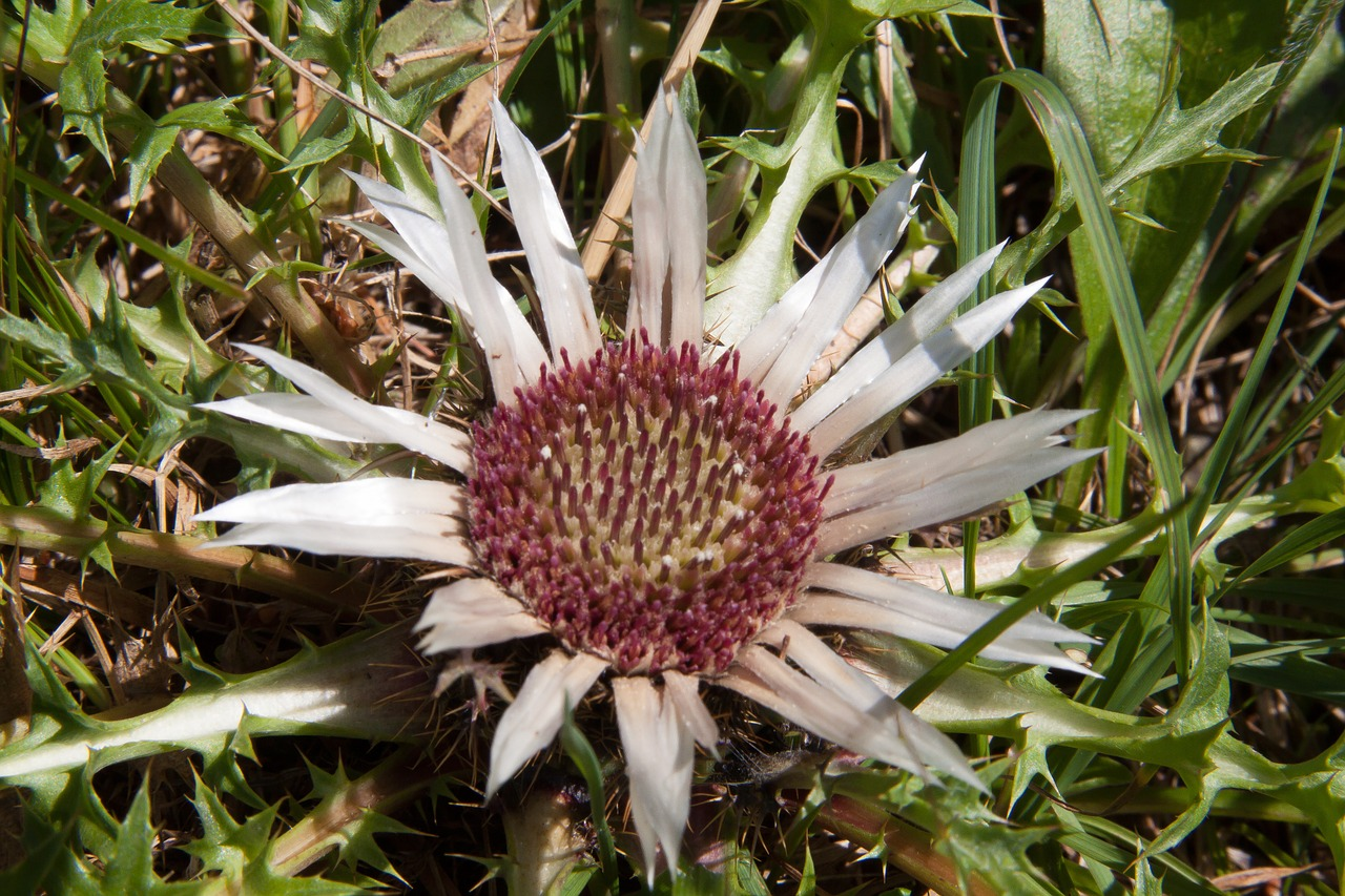 thistle silver thistle prickly free photo
