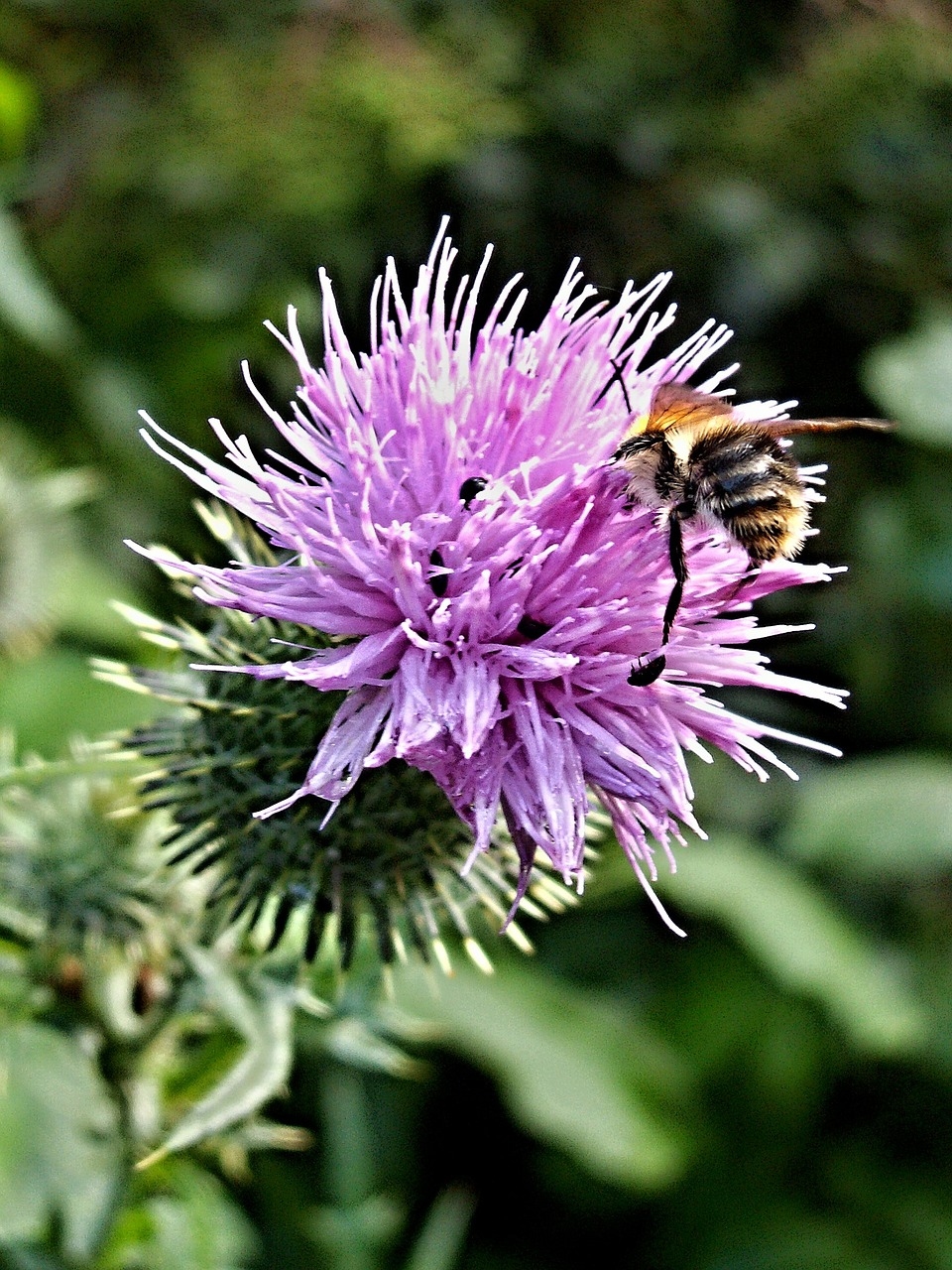 thistle bumblebee flower macro free photo