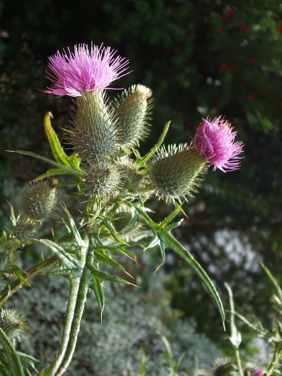 thistles plant nature free photo