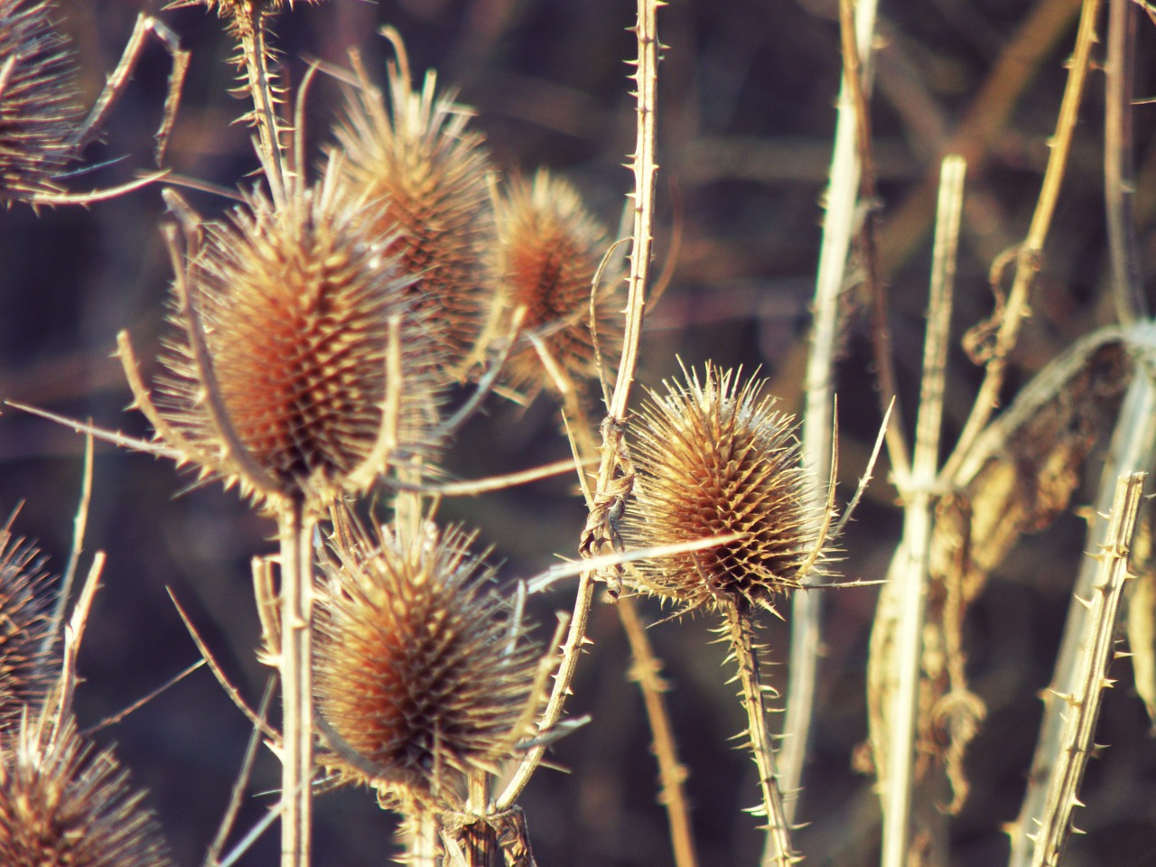 thistles dipsacus thistle free photo