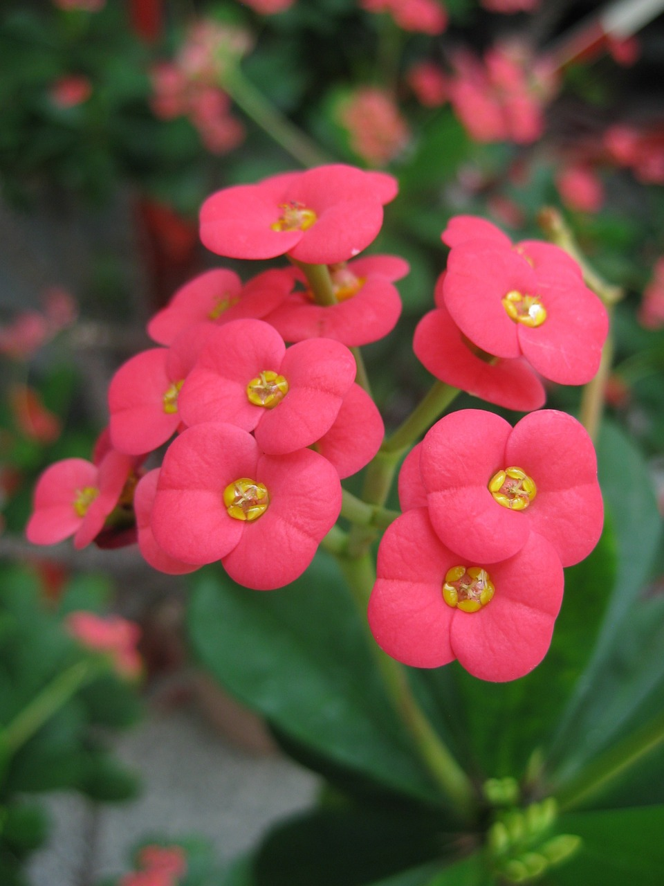 thorn euphorbia flower free photo
