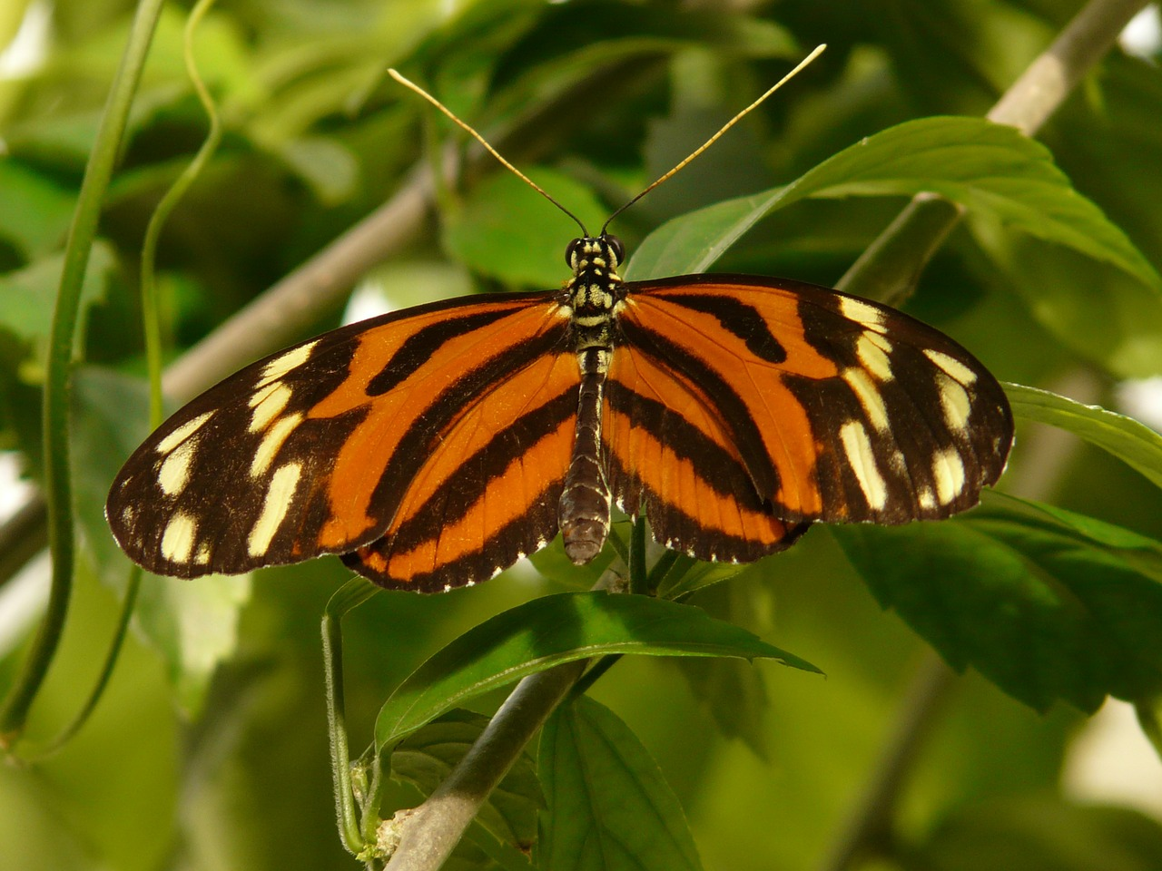 tiger passionsfalter butterfly heliconius ismenius free photo