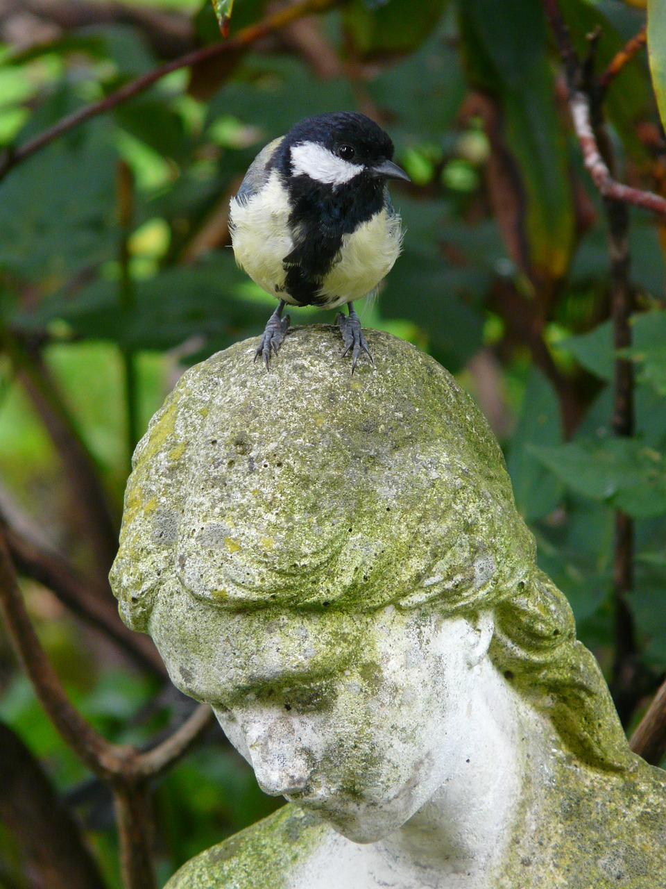 tit parus major figure free photo