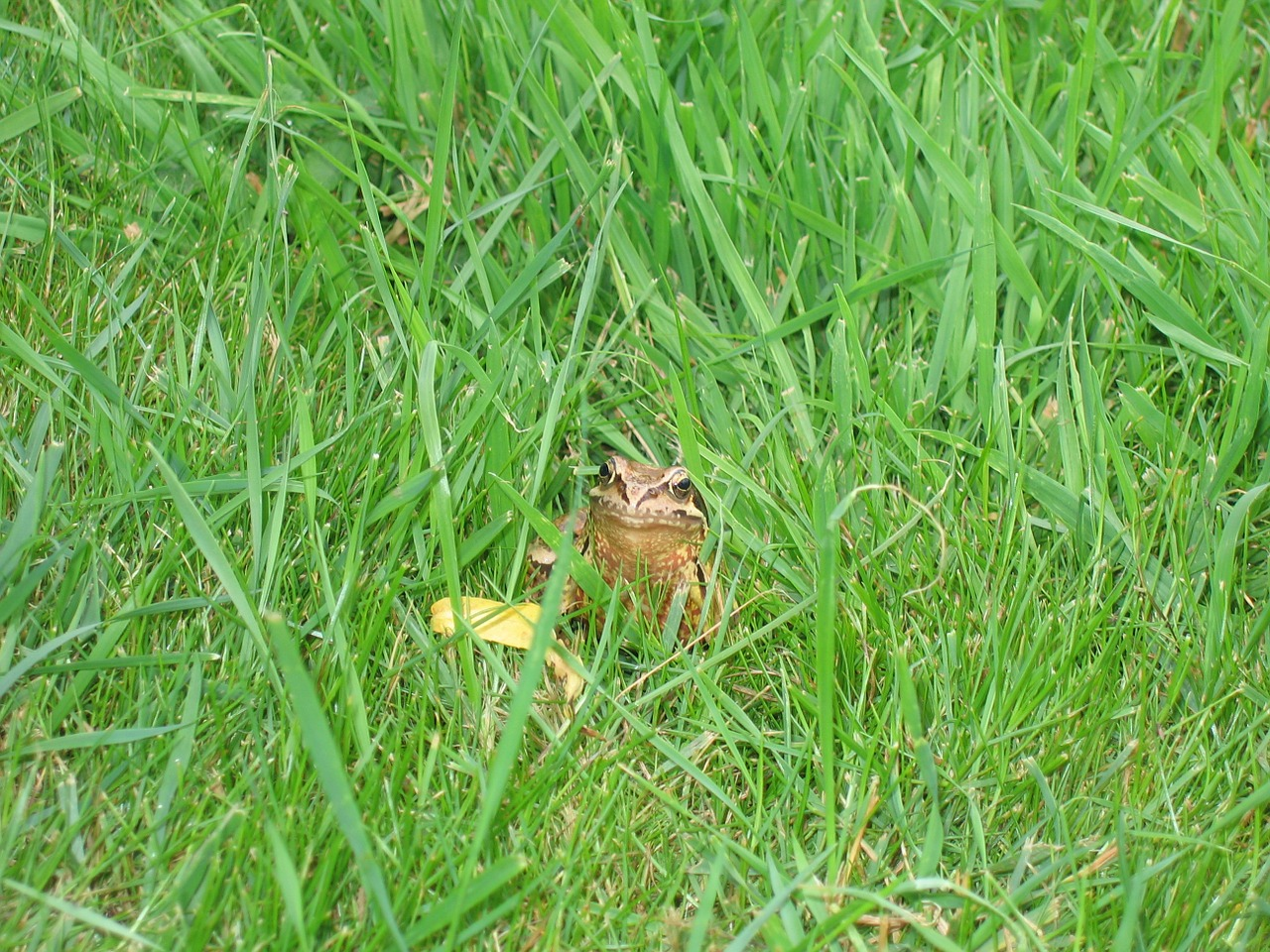 toad frog grass free photo