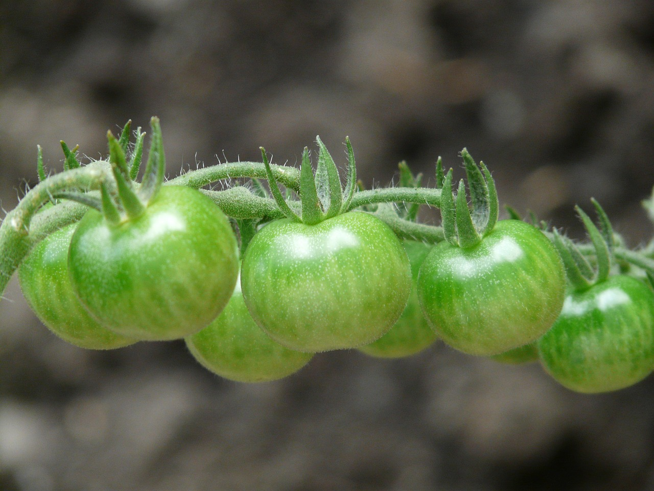 tomatoes immature green free photo