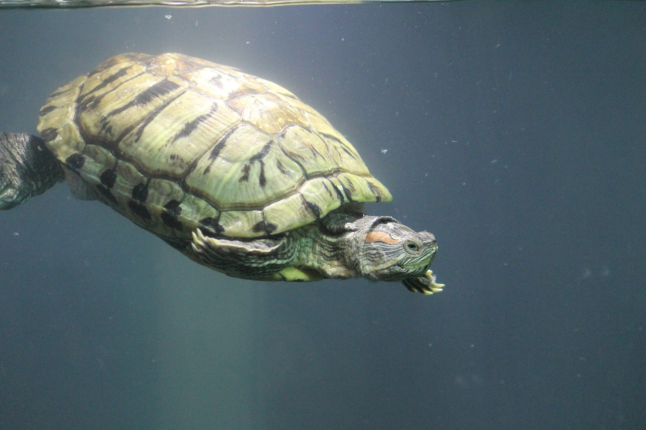 tortoise turtle water free picture