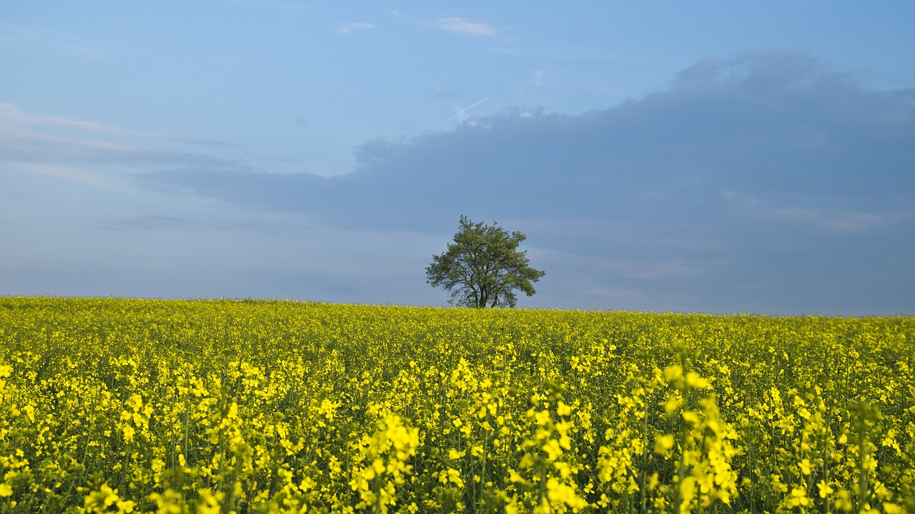 tree oilseed rape yellow free photo