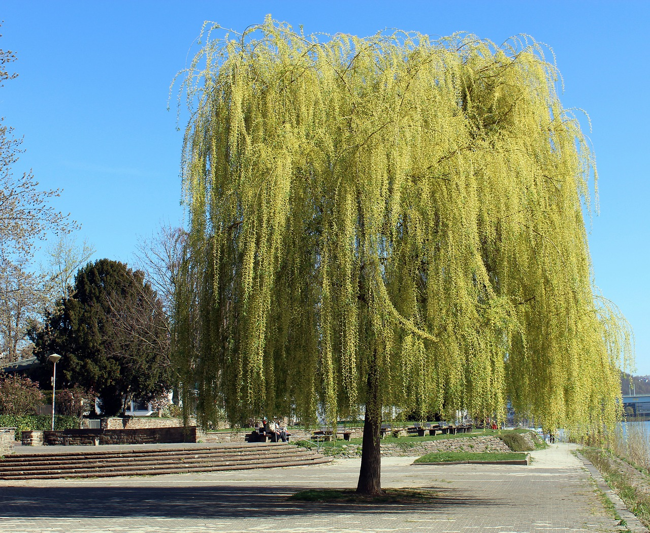 tree weeping willow spring free photo