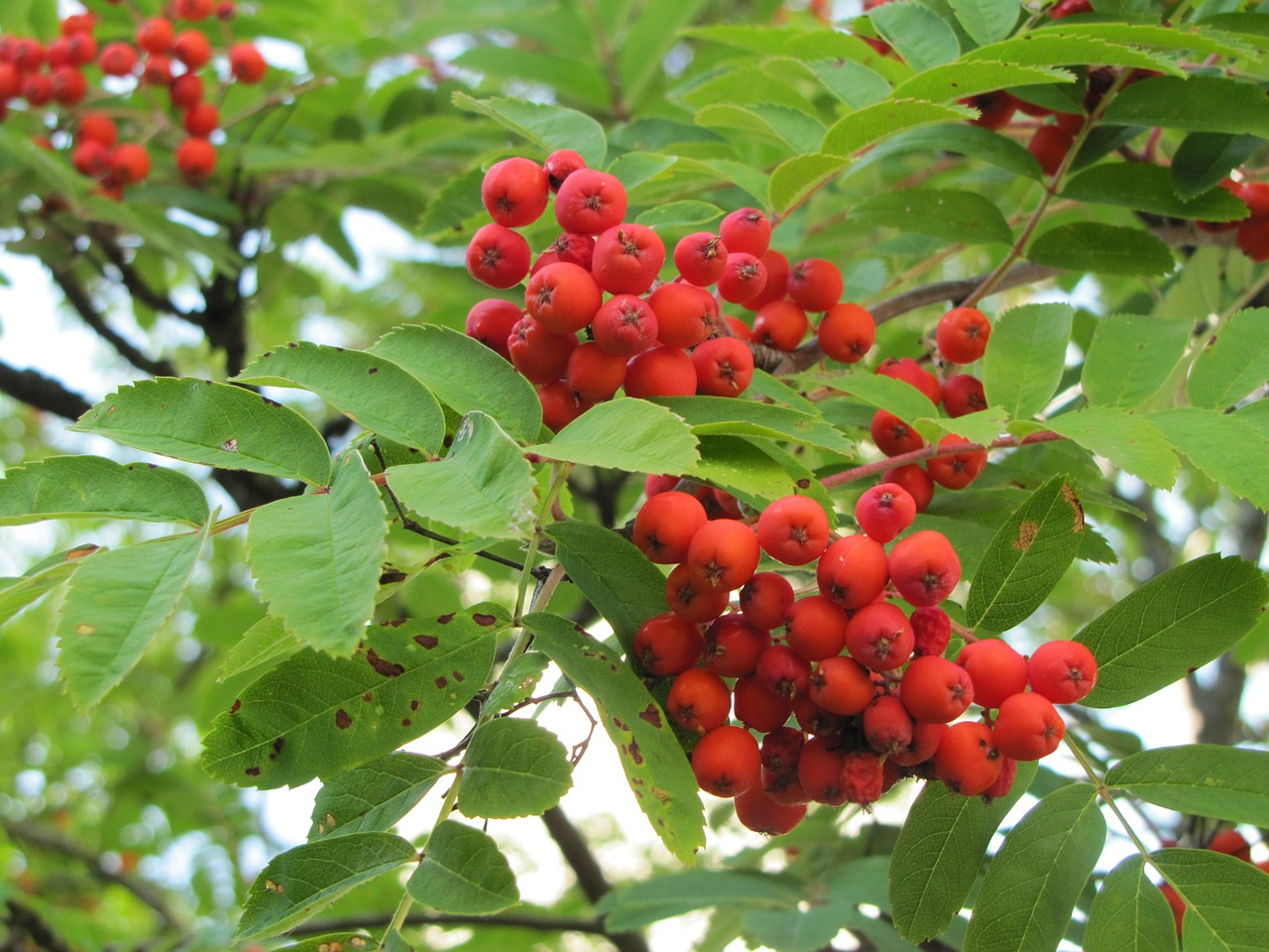 Download Free Photo Of Tree Rowan Red Berries Autumn Free Pictures