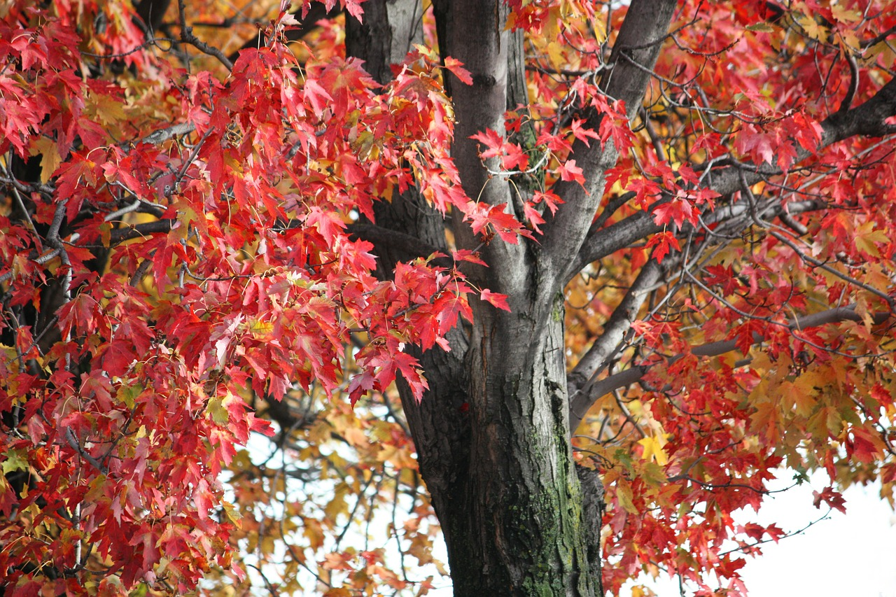 tree leaves maple free photo