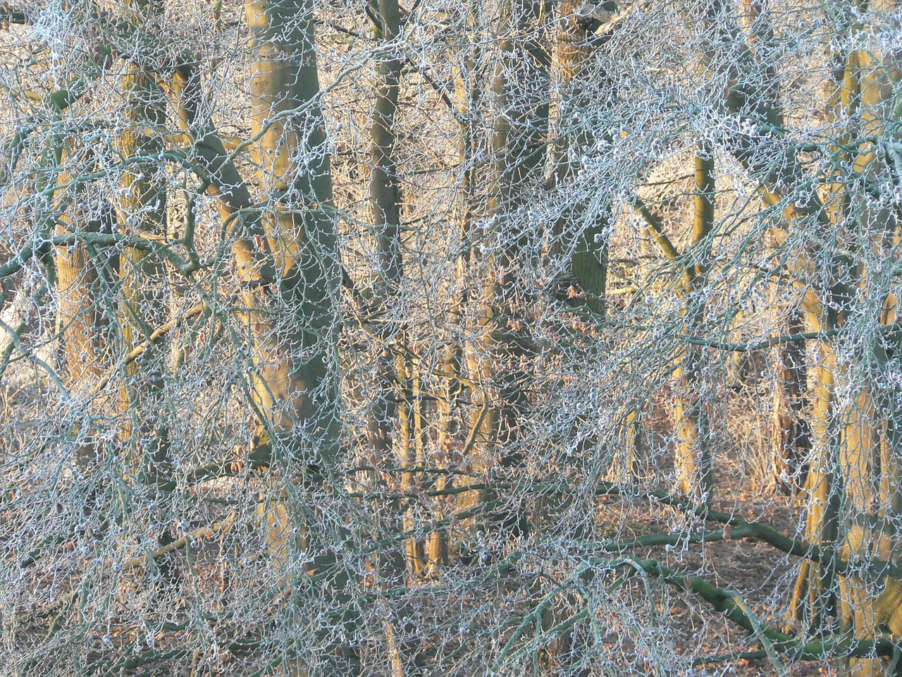 tree frost winter free photo