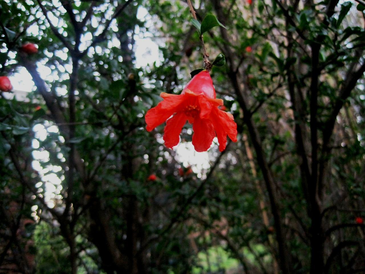 tree pomegranate flower free photo