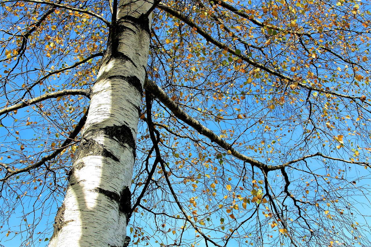 tree sky birch free photo