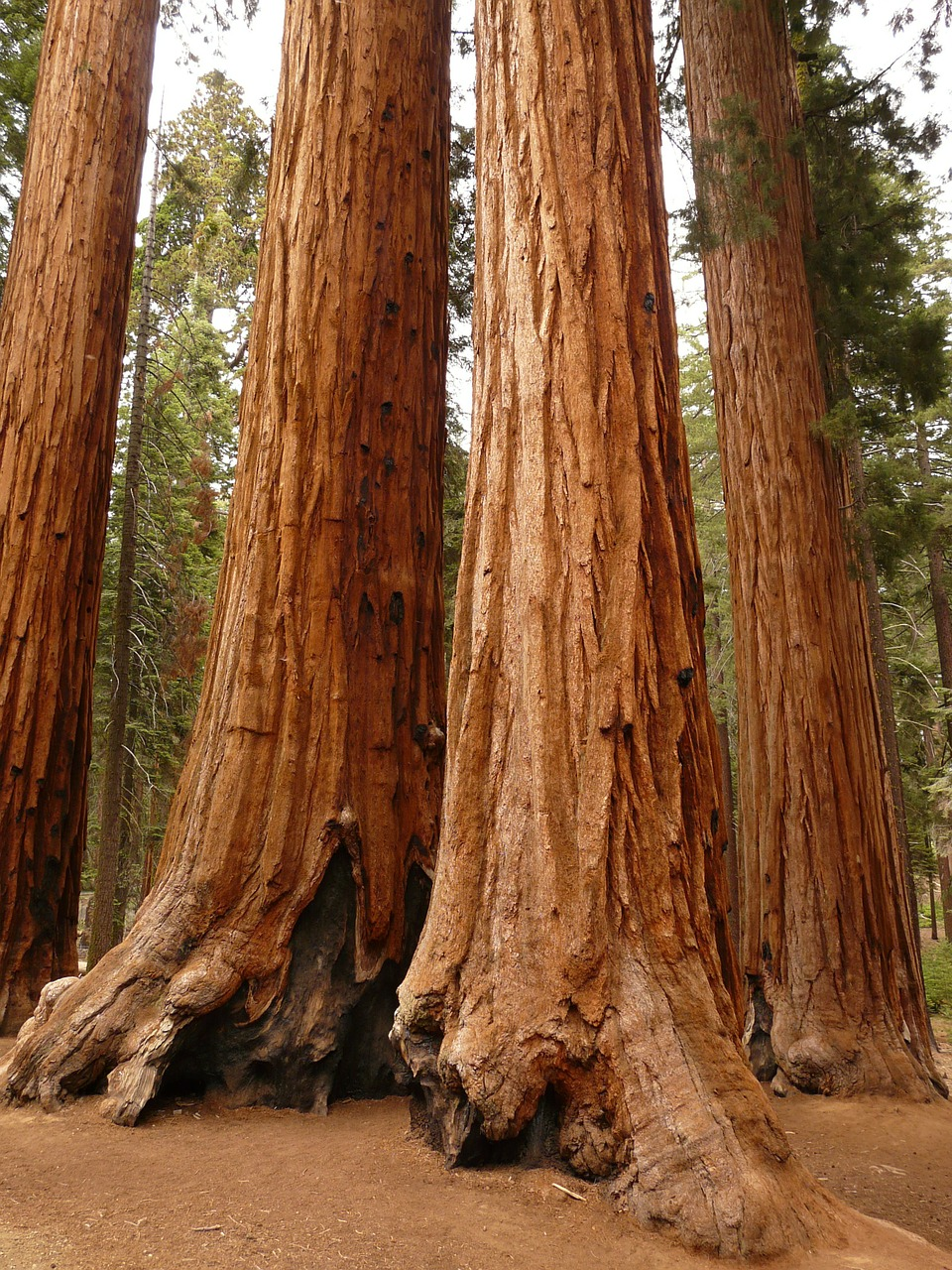 tree sequoia wood free photo