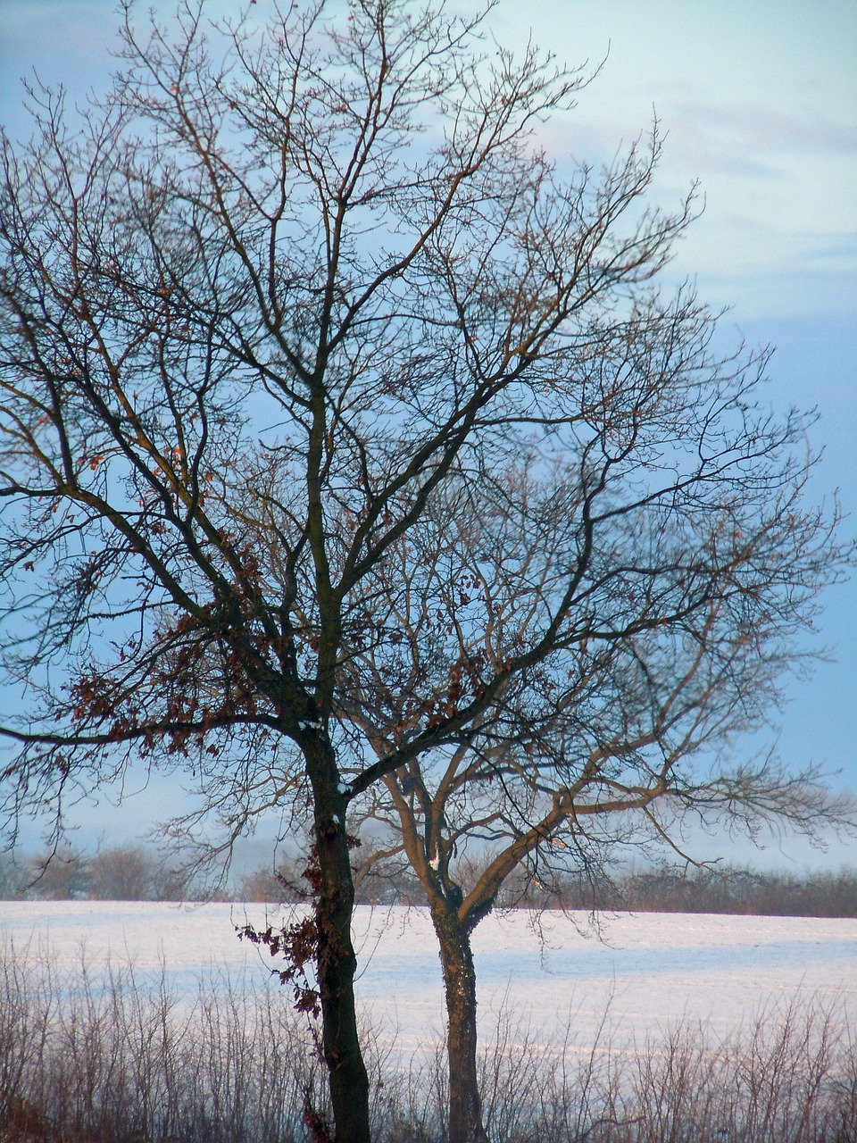 tree winter trees wintry free photo