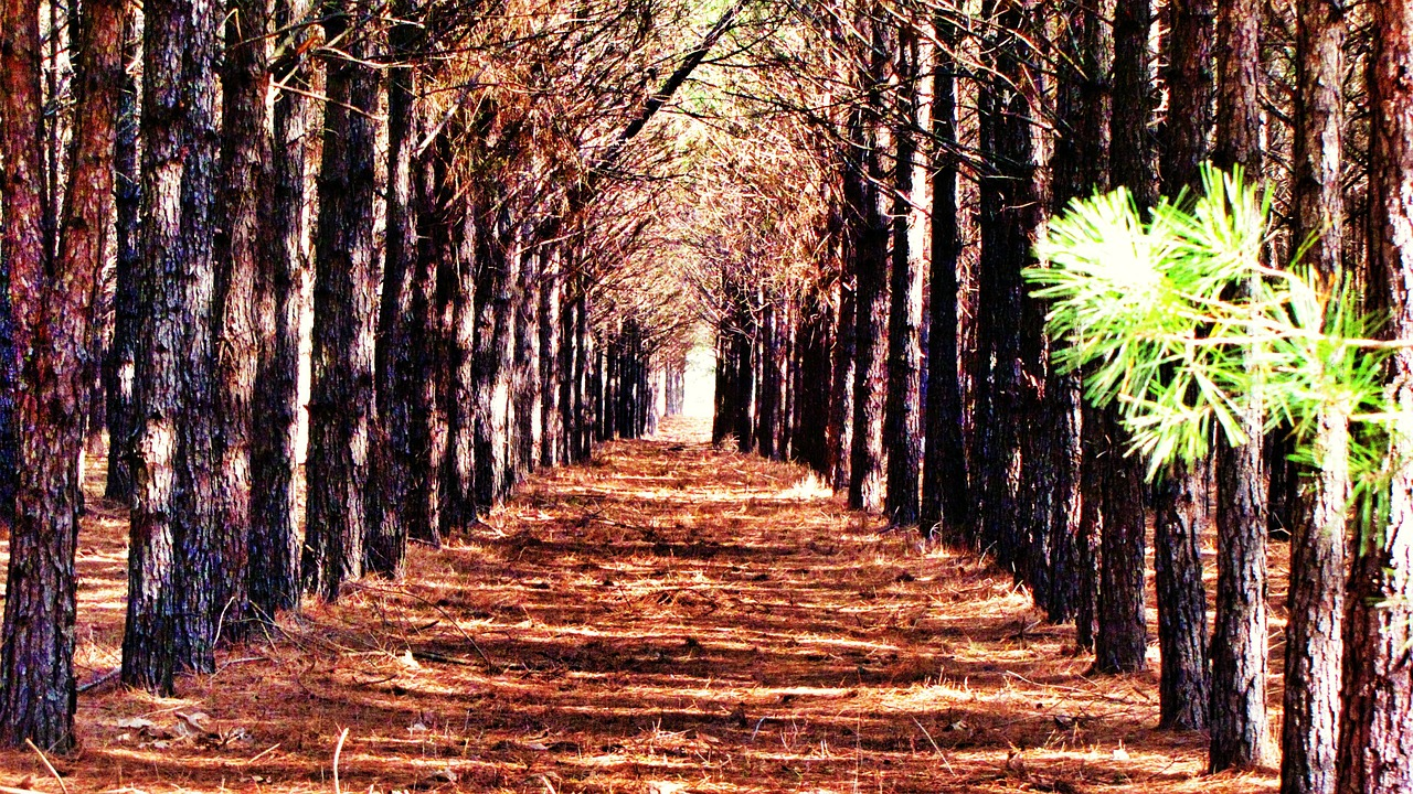 trees rows pathway free photo