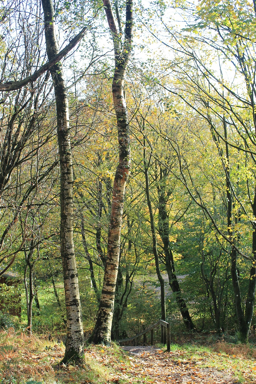 trees birch forest free photo