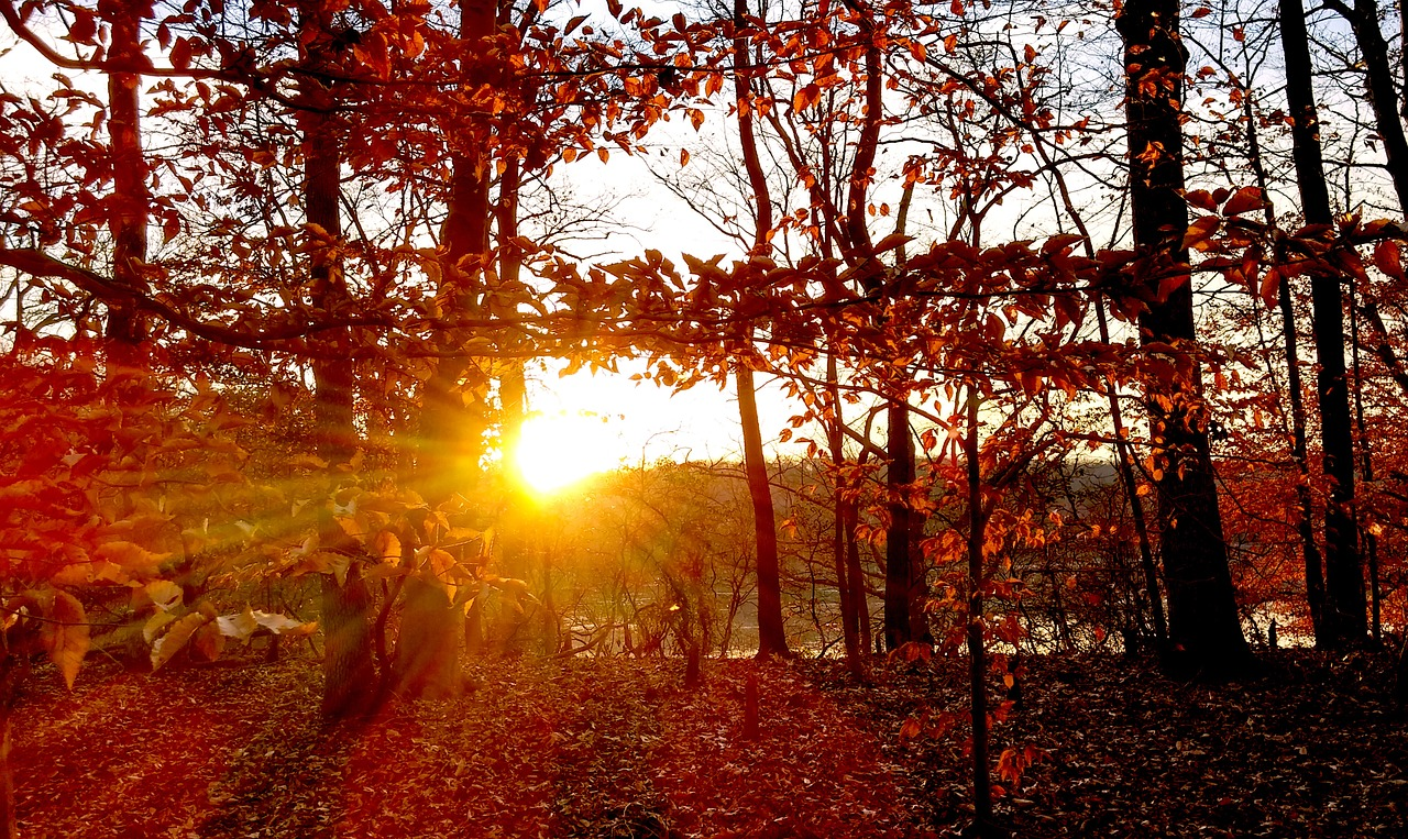 trees,sunset,fall,red,orange,autumn,nature,yellow,sun,forest,outdoor,free pictures, free photos, free images, royalty free, free illustrations, public domain