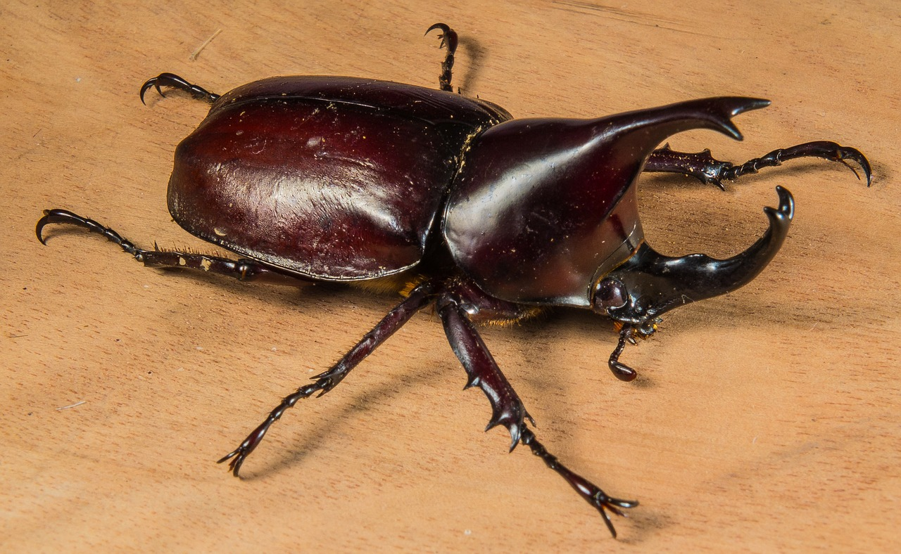 tropical beetles rhinoceros beetle riesenkaefer free photo