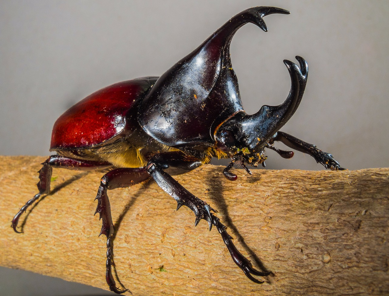 tropical beetles,rhinoceros beetle,riesenkaefer,free pictures, free photos, free images, royalty free, free illustrations, public domain
