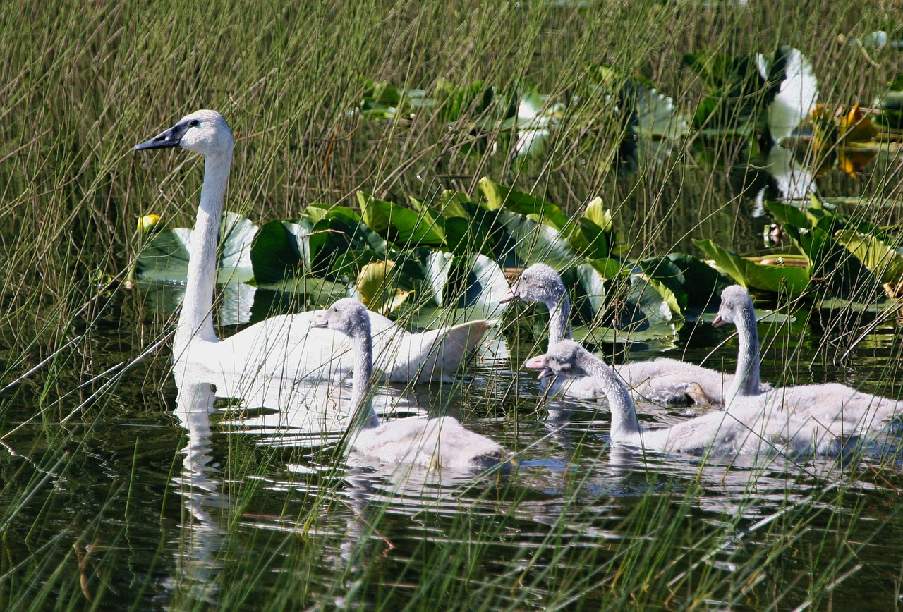 trumpeter swans swan brood free photo