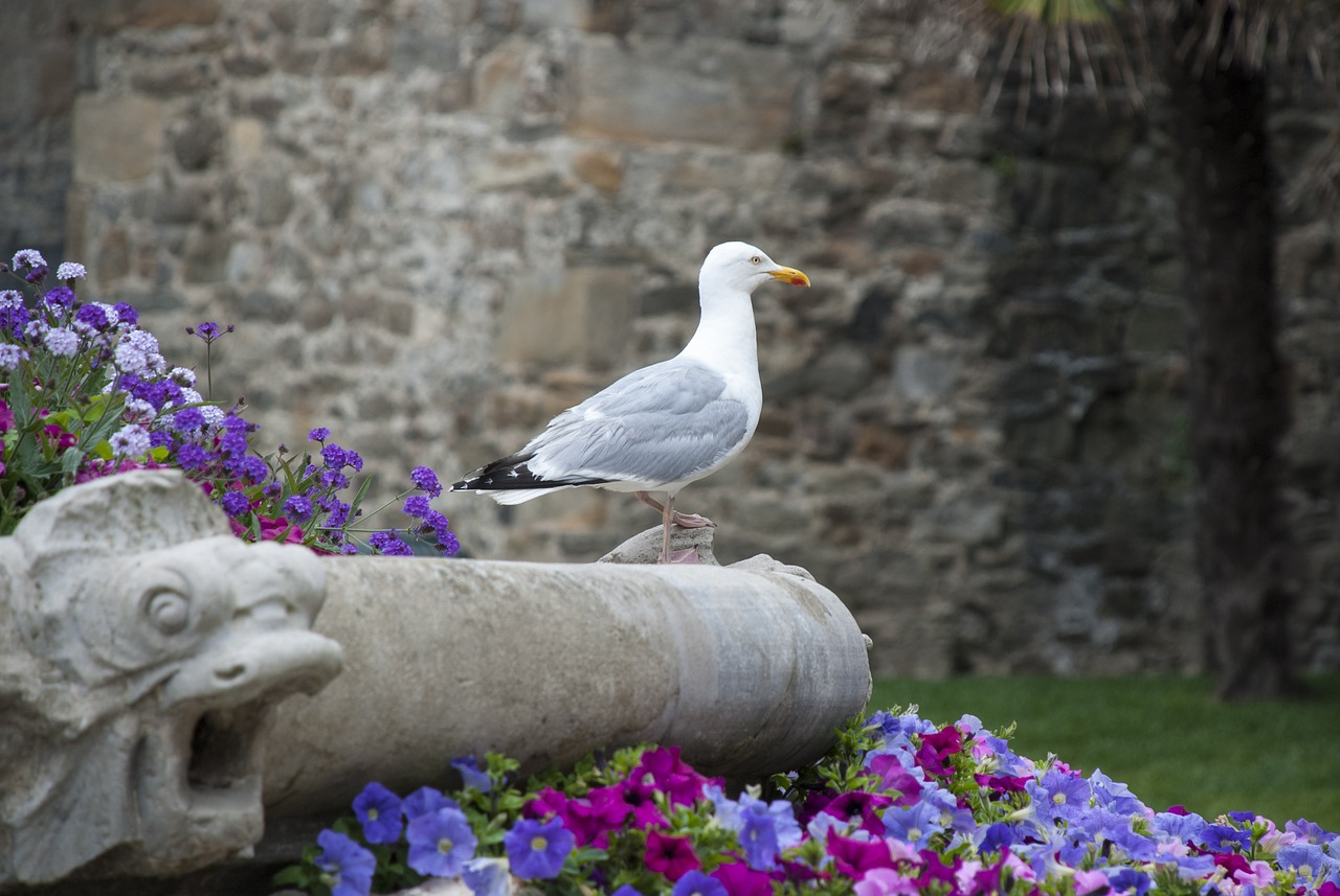 trut,bird,seagull,coast,summer,seabird,france,st malo,wall,flowers,free pictures, free photos, free images, royalty free, free illustrations, public domain