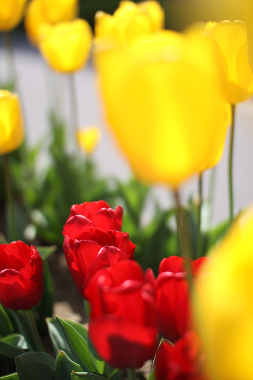 tulip flowers spring free photo