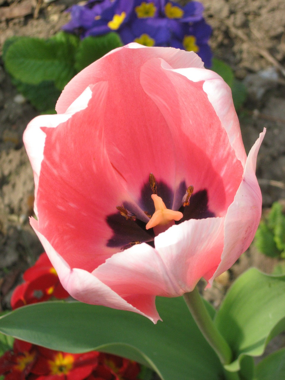 tulip flower pink free photo