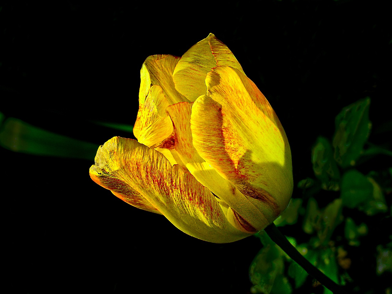 tulip spring nature free photo
