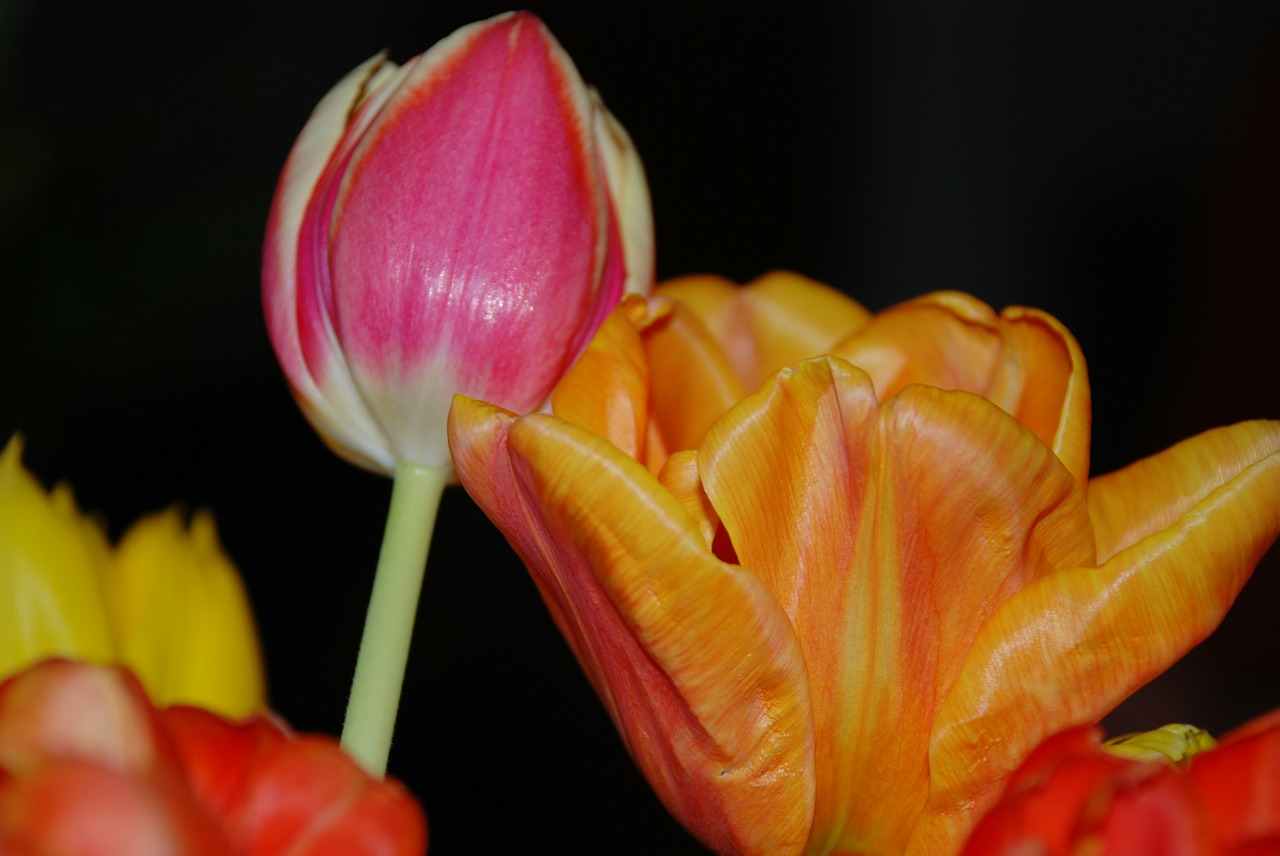 tulip flower nature free picture