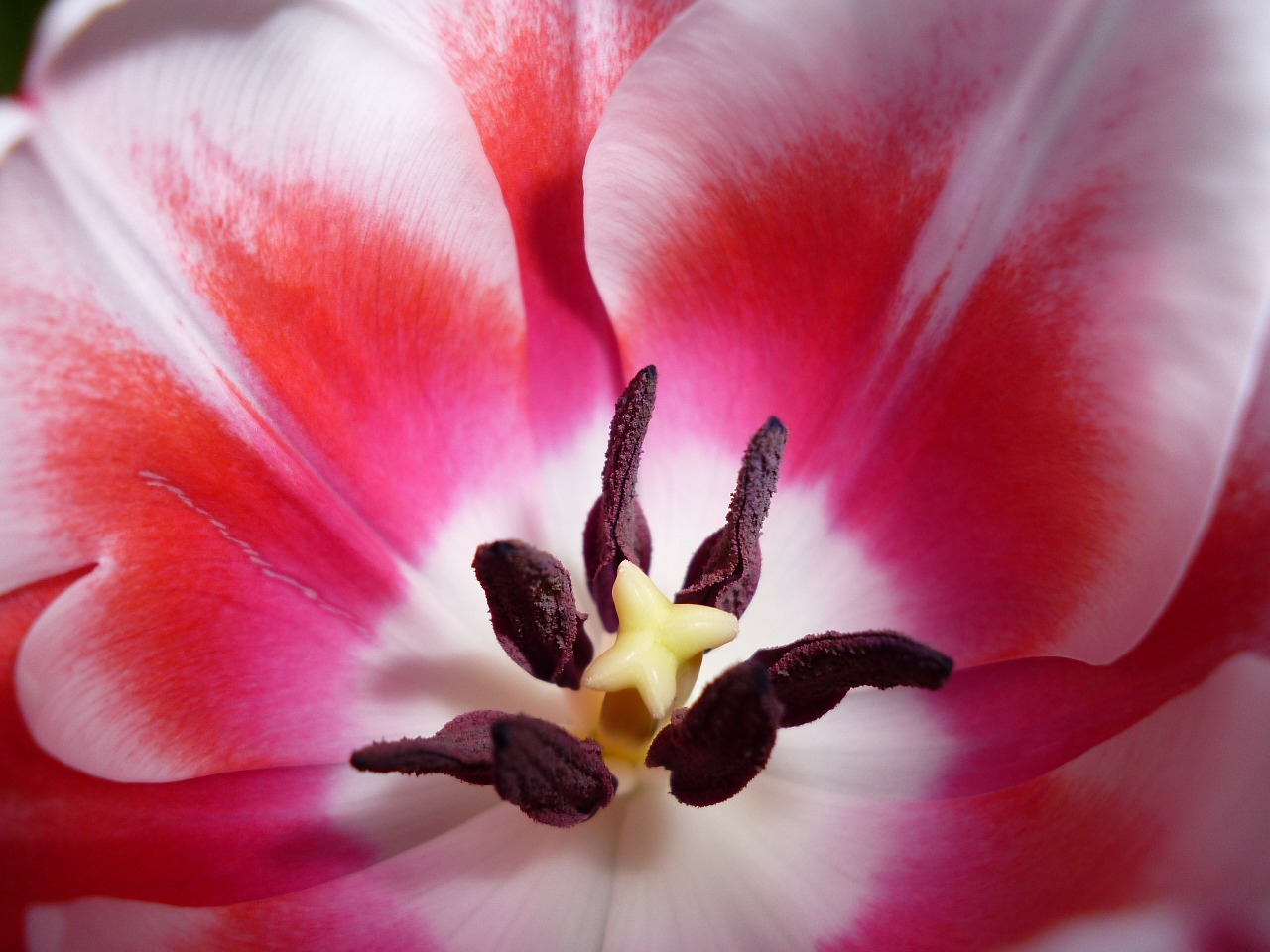 tulip blossom bloom free photo