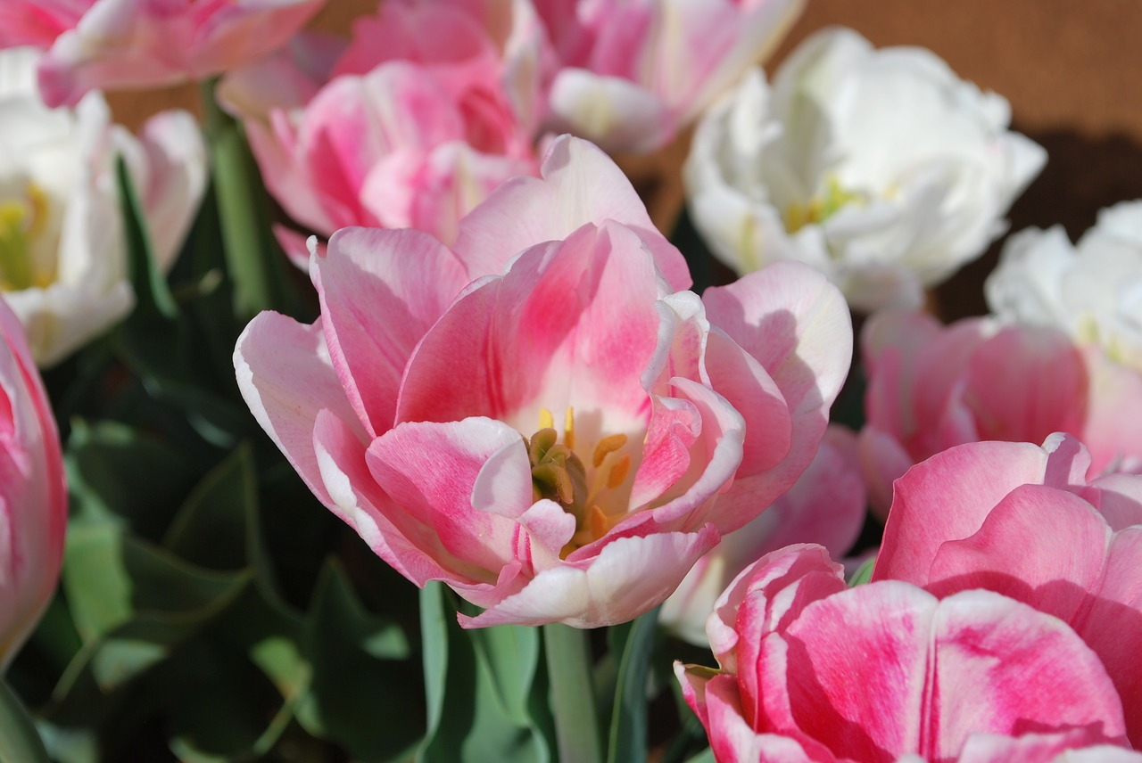 Tulippinkprettyfloralspring Free Photo From Needpix