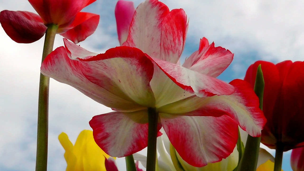 tulip tulips flower free picture