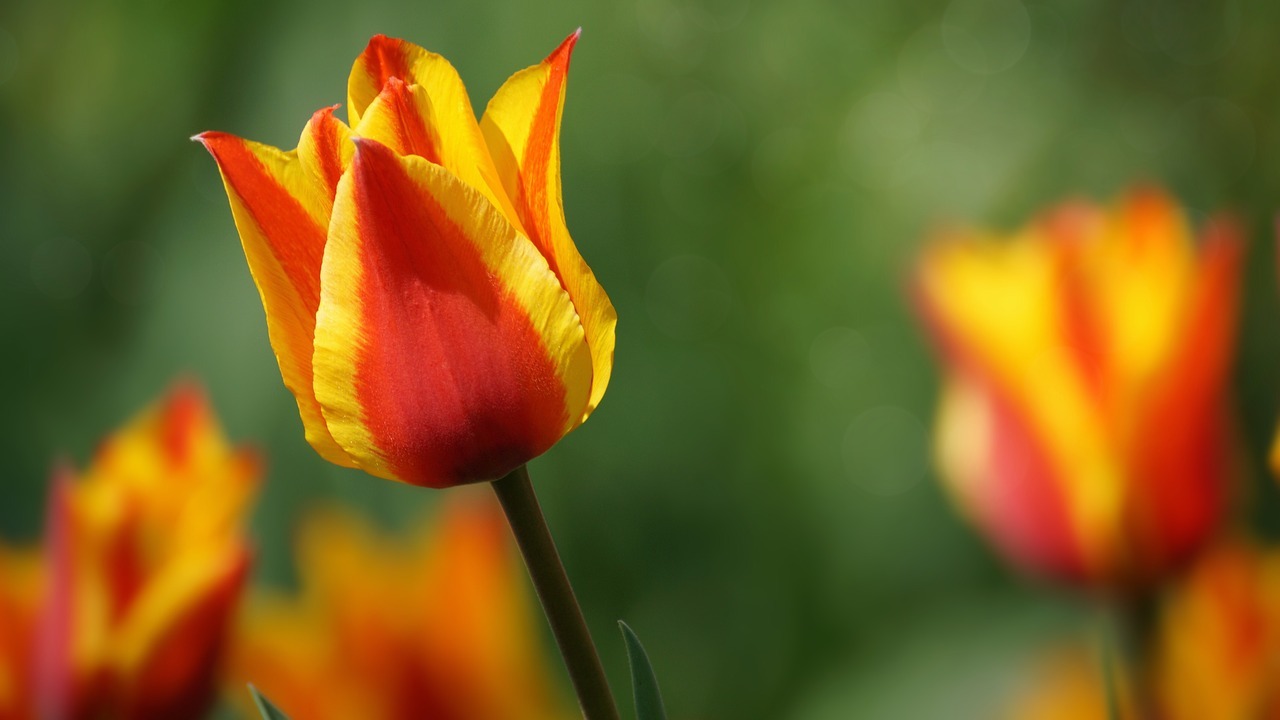 tulip  flower  bright free photo