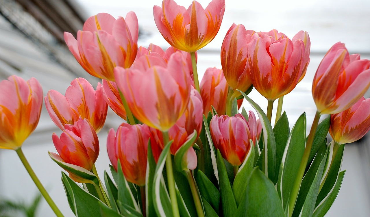 tulip tulips flower free photo