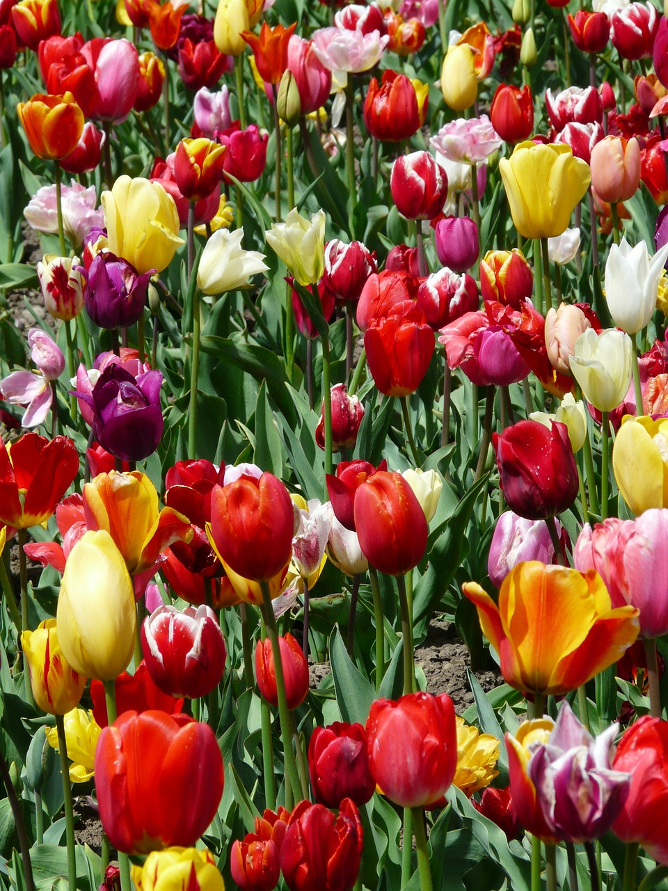 tulip cultivation tulips tulpenbluete free photo