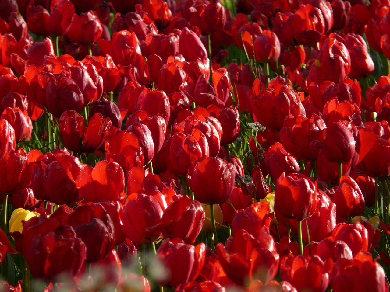 tulip field tulips red free photo