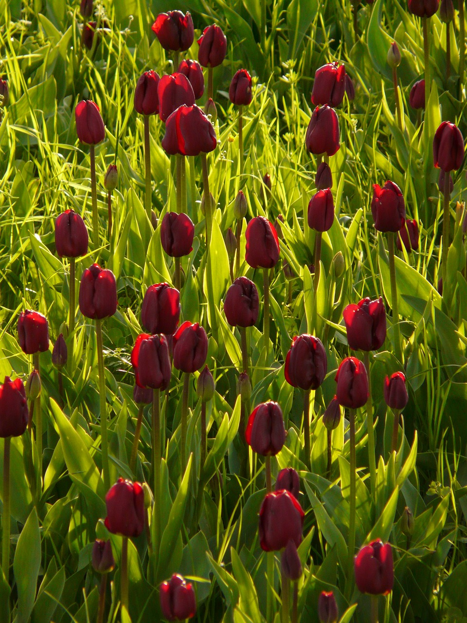 tulip field tulips violet free photo