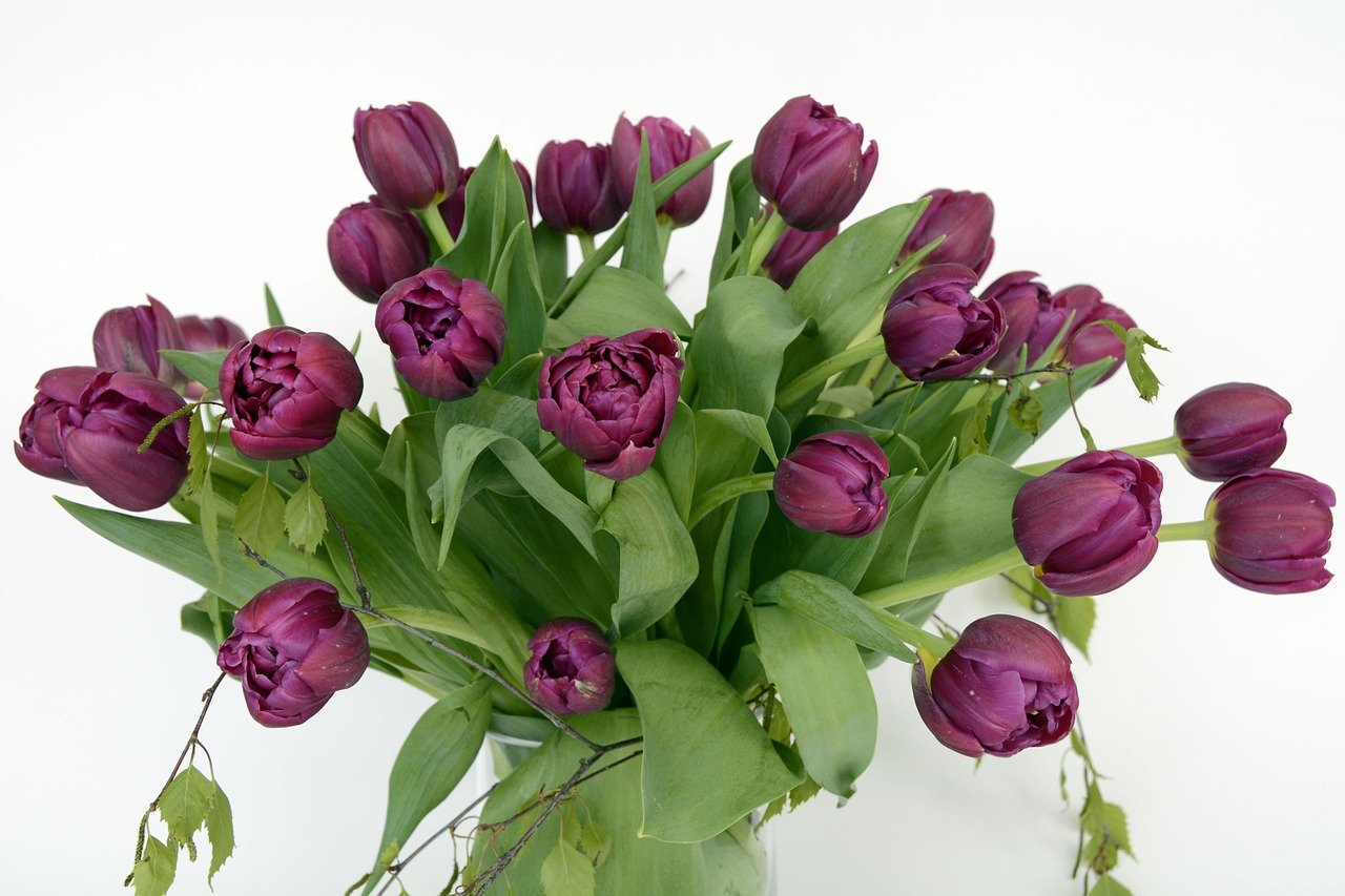 Tulips,tulip flower,flowers,violet,green - free photo from needpix.com