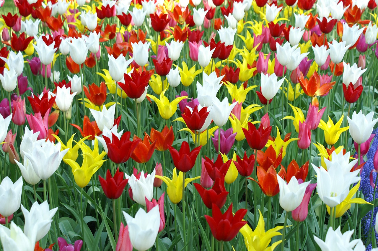 tulips holland spring free photo