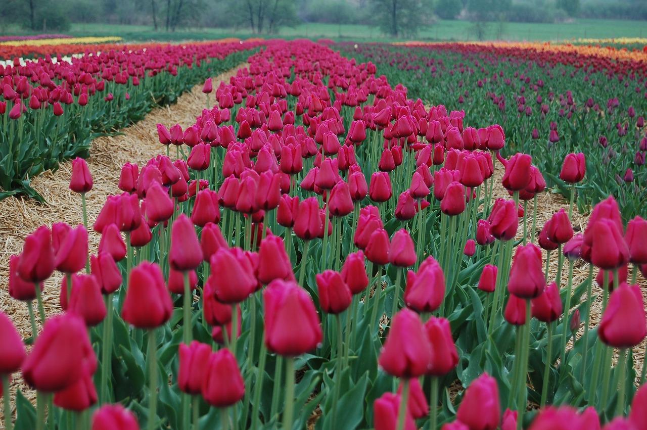 Tulipsflowersbloomingbeautynature free photo from needpix tulipsflowersbloomingbeautynature izmirmasajfo