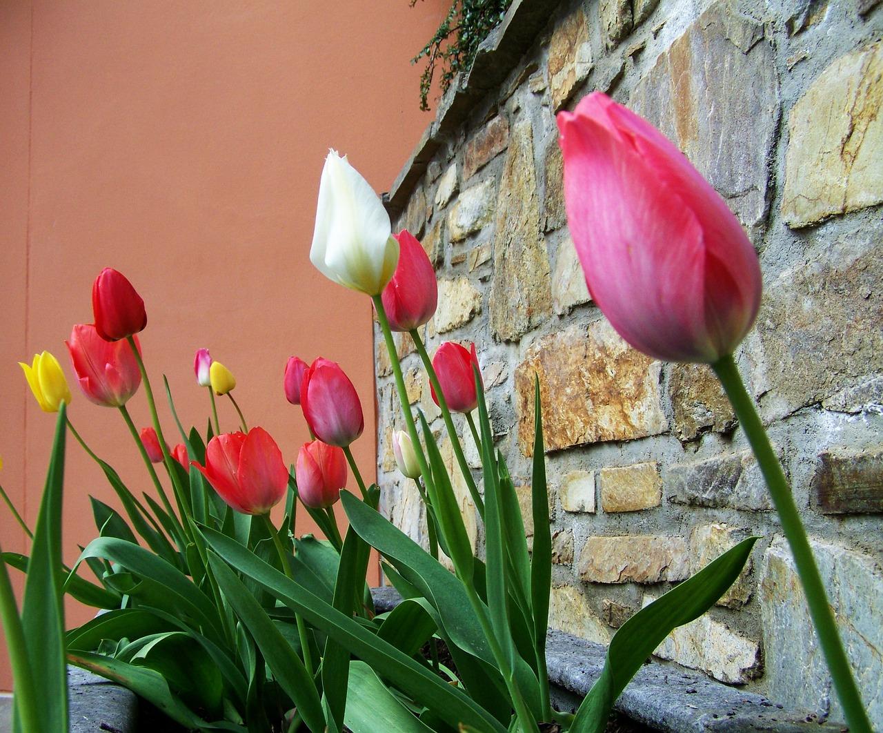 Tulipsspring Floweronion Flowerfree Pictures Free Photos Free
