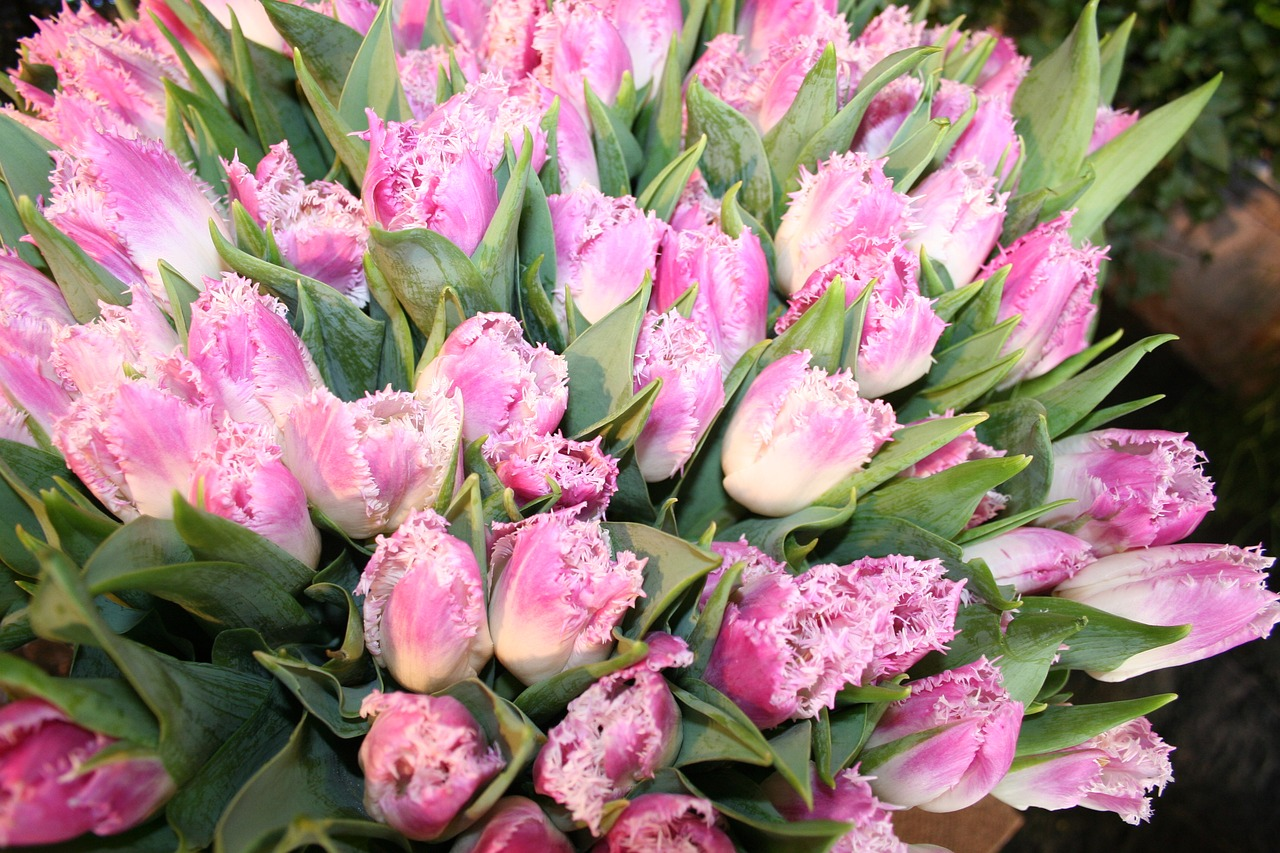 tulips flowers pink free photo