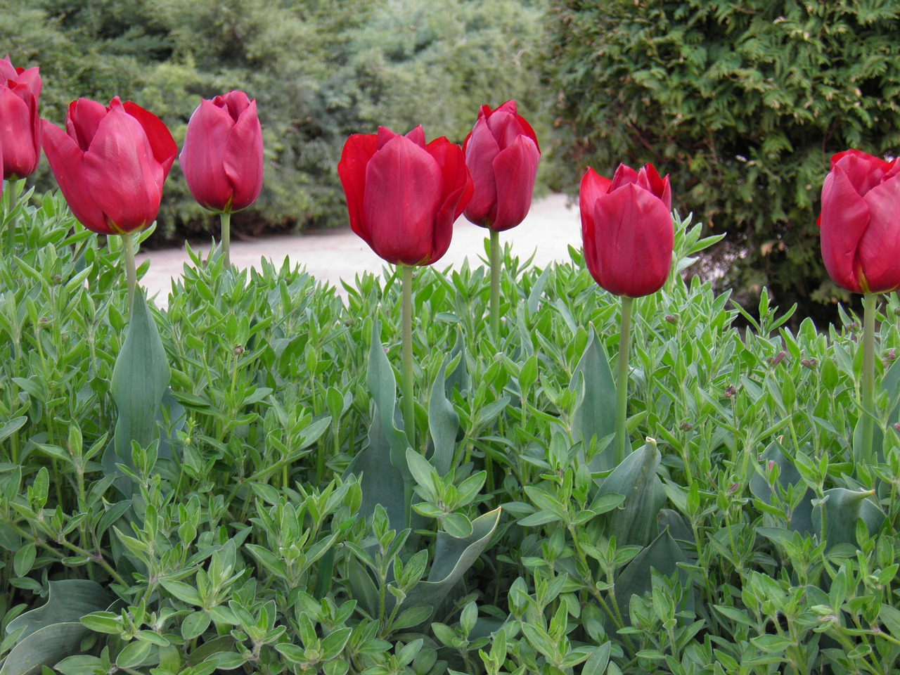 tulips flower tulip free photo