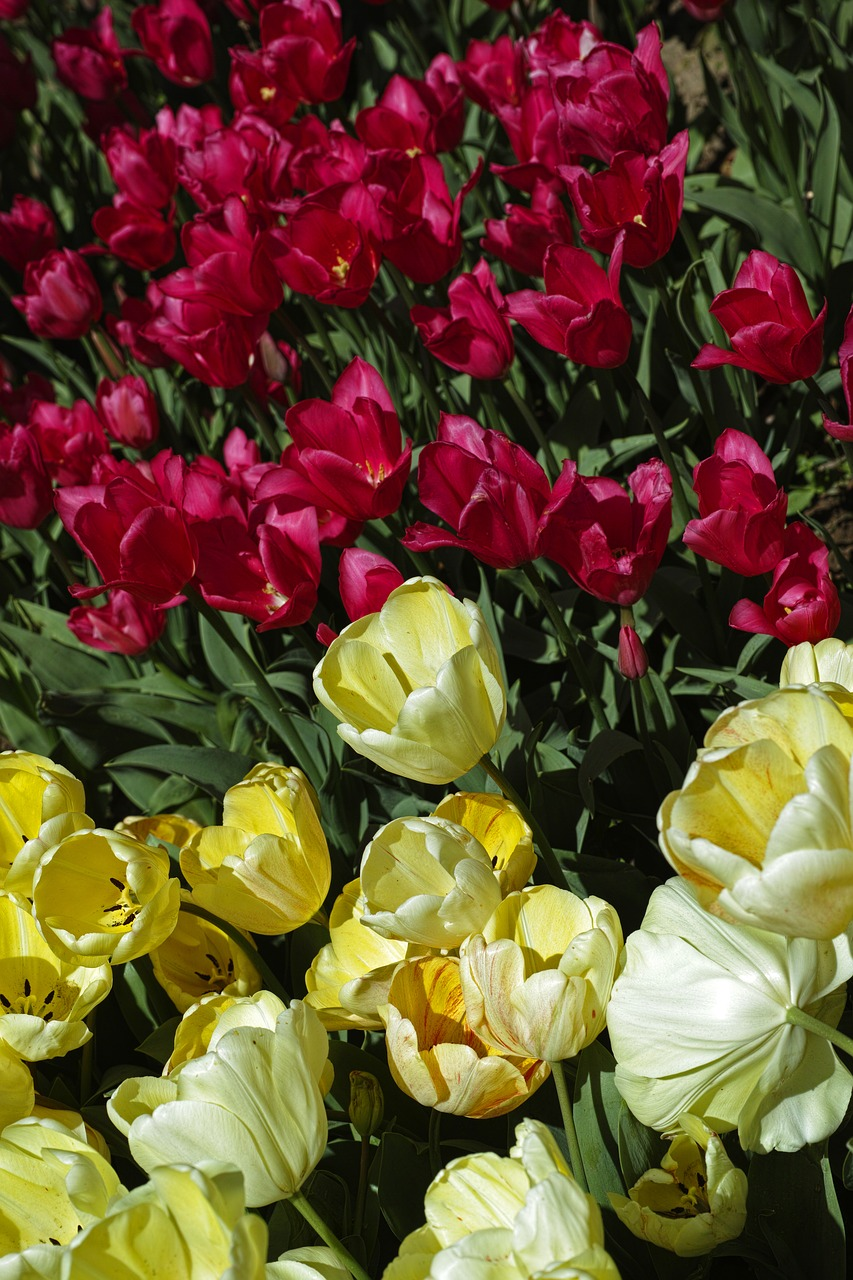 Tulipsflowerflowersnaturered free photo from needpix tulipsflowerflowersnatureredplantbeautifulspring mightylinksfo