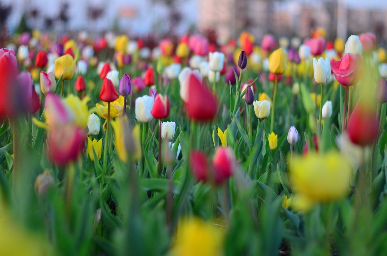Tulipsredvivid Colornatureturkey Free Photo From Needpix