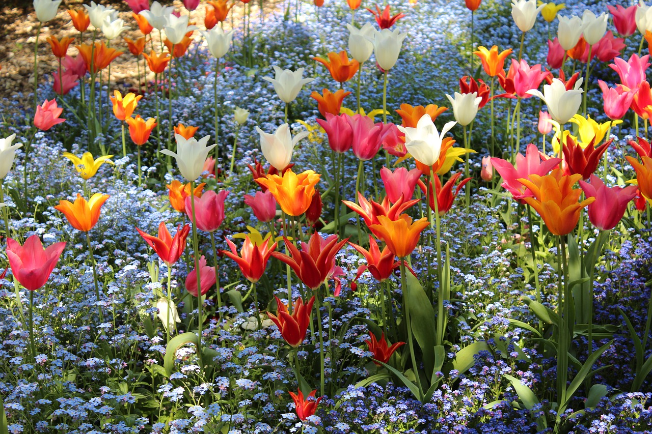 tulips colorful red free photo