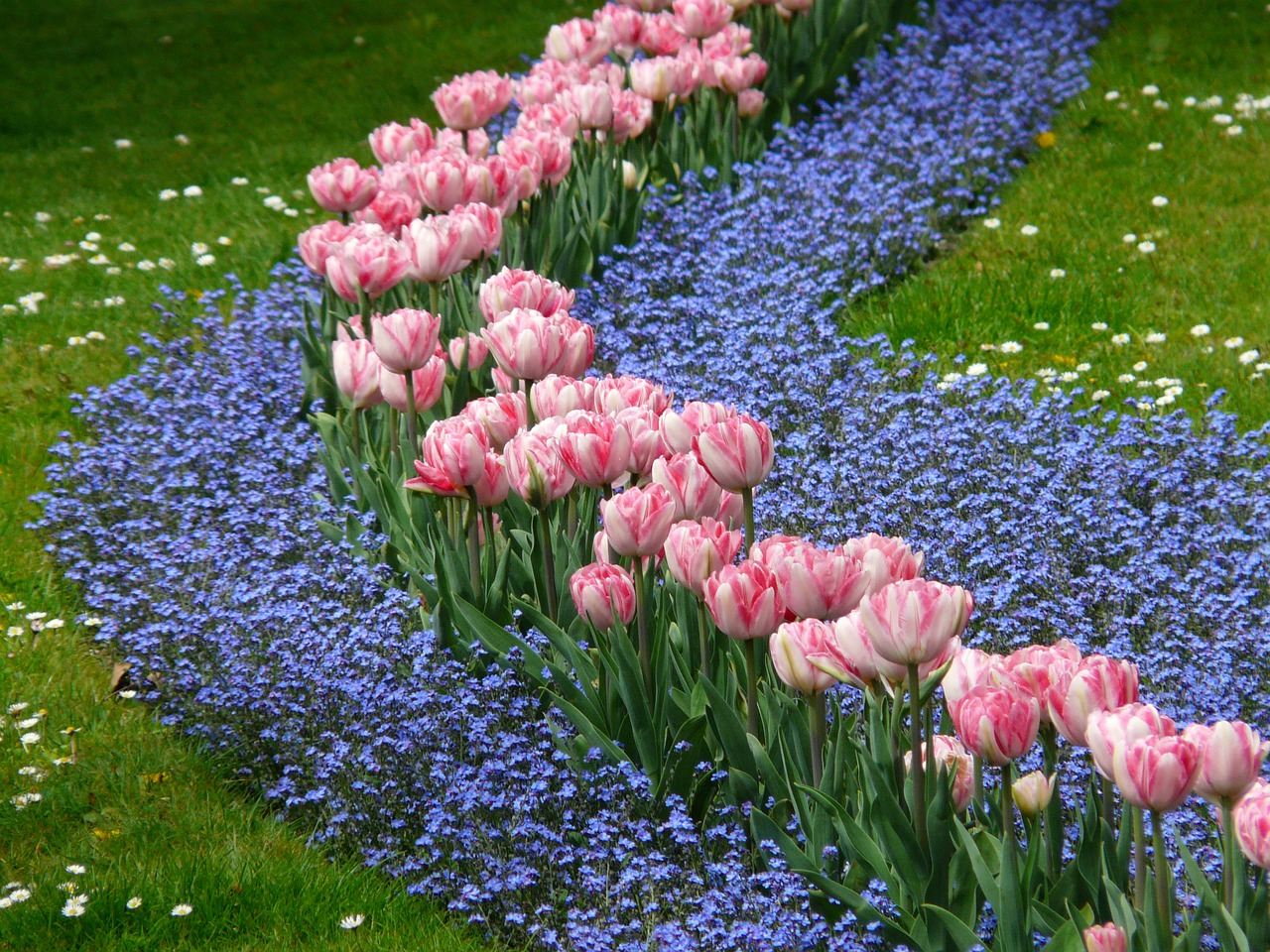 tulips bed pink free photo